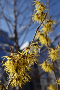 'Arnold Promise' Witch Hazel